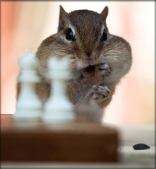 2 More Moves to Check Mate! (SavingMemories) Tags: cute face fur mouse rodent hands squirrel funny critter wildlife chess chipmunk chippy backyardcritters savingmemories suemoffett