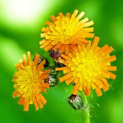 Orange Hawkweed / Hieracium aurantiacum (annkelliott) Tags: flowers orange canada flower macro calgary nature garden lumix flora alberta pointandshoot reddevil squarecrop prohibited clsoeup introduced orangehawkweed devilspaintbrush hieraciumaurantiacum noxious beautyinnature southernalberta readerrockgarden annkelliott dmcfz40 fz40 panasonicdmcfz40 p1100755fz40