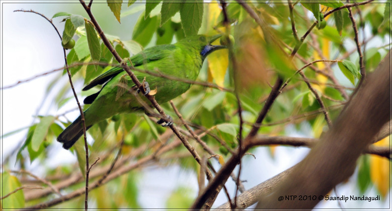 Golden-Fronted-Leafbird