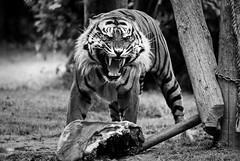 Tiger @ Howletts Zoo (Simon Didmon) Tags: bw cat lunch zoo big nikon raw tiger sigma meat roar 70200 f28 howletts