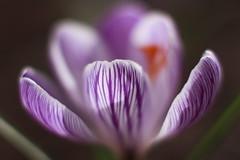 crocus (louisa_catlover) Tags: winter plant nature garden nursery australia ascot victoria lambley