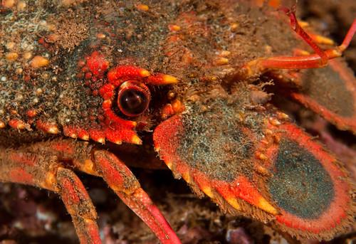 Regal Slipper Lobster