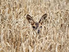 Catch Her in The Rye [eXPLoReD] (Ger Bosma) Tags: deer explore roedeer reh gettyimages hert ree capreolus capreoluscapreolus corzo capriolo explored chevreui img18070