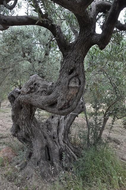 Guhyaloka flora   olive tree 1