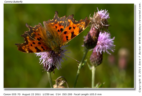 Comma Butterfly Primrose Hill Birkacre Yarrow Valley Chorley Lancashire