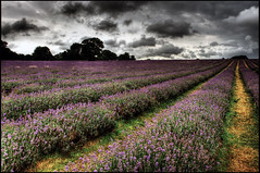 Lavender field (julian fraser photography) Tags: field clouds perspective lavender hdr darksky fieldofdreams 2470mm leadinlines lavenderfield d700