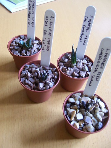 Airocarpus seedlings