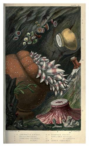 010-Actinologia Britannica… 1860- Philip Henry Gosse