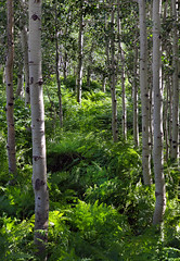 Aspens and Ferns (arbyreed) Tags: trees green forest alta ferns aspen aspentrees altautah aspenforest utahaspens arbyreed aspensandferns