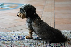 Lauser 1 (Jacopo Casati foto) Tags: cane amico animalidacompagnia