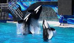 In the Family (CetusCetus) Tags: show california sandiego orca seaworld shamu killerwhale nakai backdive swc kalia oneocean kasatka swsd