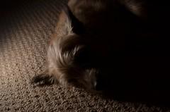 Low Key Lighting (Eric Yoo) Tags: shadow dog 35mm terrier lowkey strobe d7000 sb700