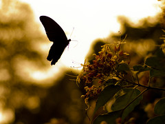 Great Mormon (Polotaro) Tags: nature pen butterfly bug insect olympus  zuiko ep1       gzuiko50mmf14