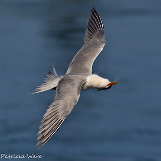 Elegant Tern Head Shake