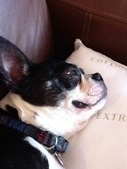 Roxie the Pillow Grabber (roxidaisy) Tags: iphone bostonterrior ~imaginethat~