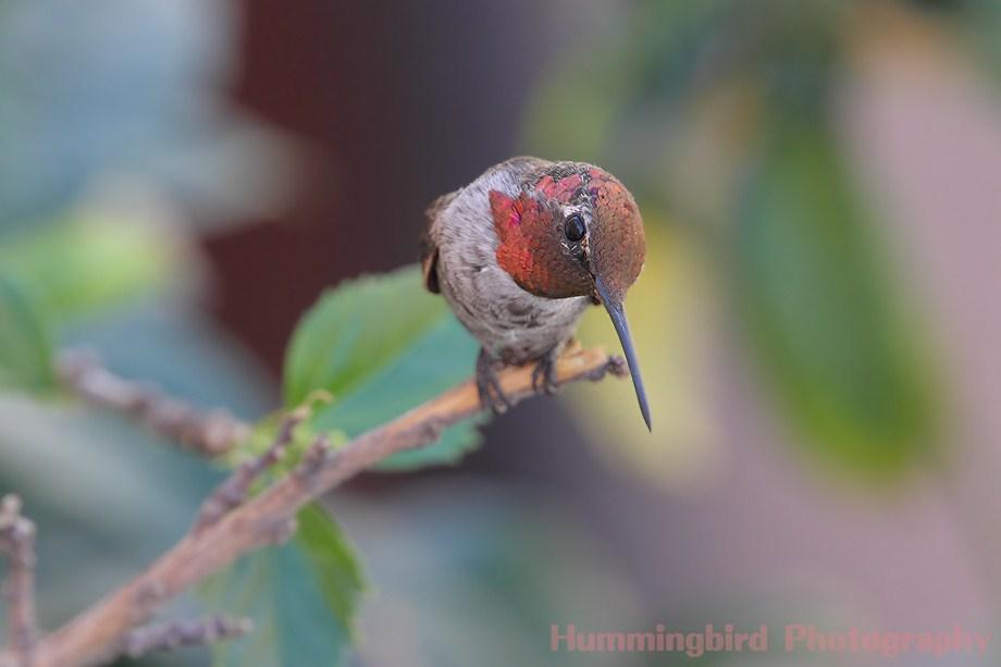 Anna's Hummingbird 083111-2