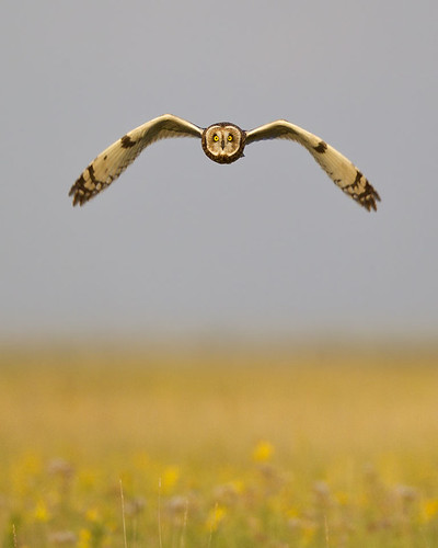 Head-on Evening-Light Short-eared Owl by Jeff Dyck