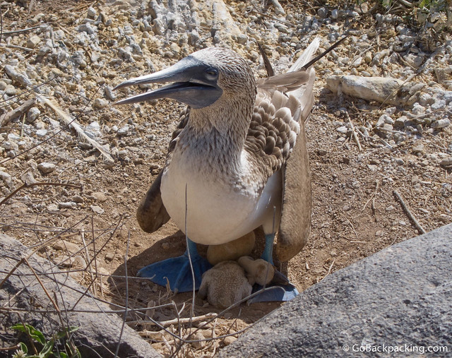 Baby Blue Footed Booby