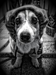 The Typhoon is Coming! (moaan) Tags: bw dog digital outfit corgi expression utata welshcorgi raincoat anxiety 2011 pochiko iphone4 gettyimagesjapanq4