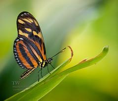 (winn.timothy59) Tags: macro nature butterfly insect bokeh frameit dblringexcellence tplringexcellence eltringexcellence allofnatureswildlifelevel1 allofnatureswildlifelevel2 allofnatureswildlifelevel3 allofnatureswildlifelevel4 allofnatureswildlifelevel5 allofnatureswildlifelevel6 allofnatureswildlifelevel7 vigilantphotographersunite vpu2 vpu3 vpu4 vpu5 vpu6 vpu7 vpu8