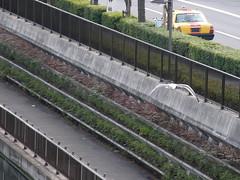 #6067 seagull cruising river (Nemo's great uncle) Tags: bird geotagged tokyo seagull   bunka  sumidaku      jukkengawariver geo:lat=3570741201232522 geo:lon=13982020108465576