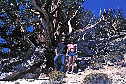 ancient bristlecone pine tree and us