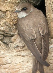 Sand Martin at nest (dowicher) Tags: uk nature birds sand martin wildlife sandmartin