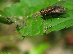 Varejeira bronze (Eudes Coelho) Tags: mosca varejeira
