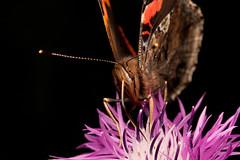 Vanessa atalanta (Hyönteismies) Tags: macro butterfly bug insect butterflies insects bugs redadmiral eläin kasvi perhonen luonto vanessaatalanta kuvio kukka hyönteinen ötökkä hyönteiset canon60mm siivet perhoset siipi ohdake amiraali tuntosarvet tuntosarvi täpläperhoset imeä selkärangaton täpläperhonen luontokappale imevä siipikuvio