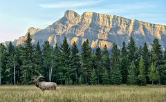 First Light - Bull Elk (Jeff Clow) Tags: morning nature landscape bravo wildlife elk mountrundle albertacanada banffnationalpark firstlight canadianrockies bullelk