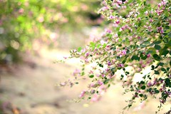/  bushclover (yukkbie) Tags: flowers japan garden 50mm nikon bokeh f14 lower bushclover d3100