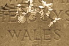 WALES (Geraint Rowland Photography) Tags: flowers sepia wales daisies canon photography cymru engraving gravestone daisy toned geraintrowland