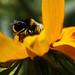 Bummble Bee