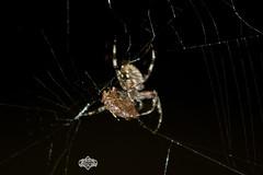 Death Row (Hepcat75) Tags: feast canon eos rebel spider kill web arachnid attack somerset assault hunger meal bite hungry stinkbug huntsman xsi project365 450d njnewjersey runningcrab