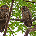 Mottled Wood Owl, Pench National Park (Graham Cutts)