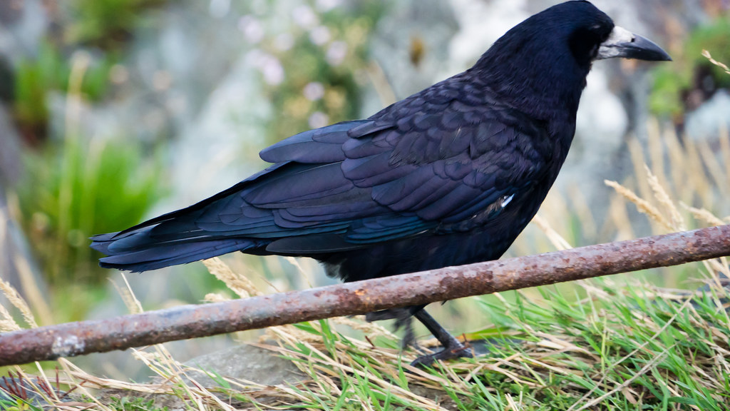 Crow On A Rusty Fence (Greystones)