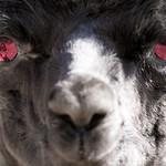 Evil Alpaca thumbnail