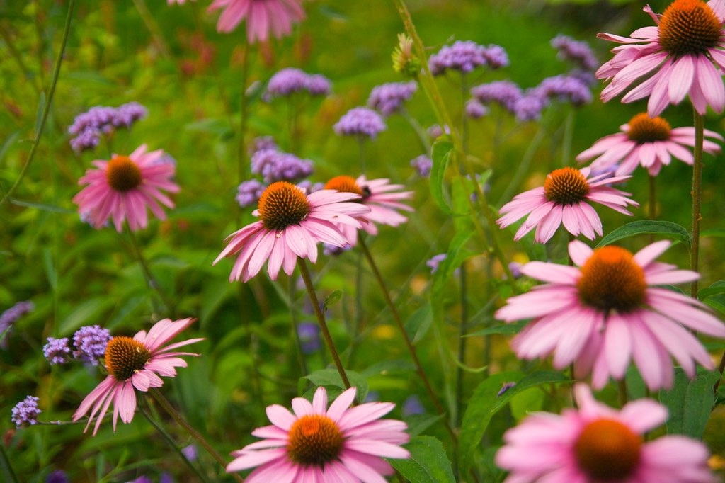 echinacea new closeup  450