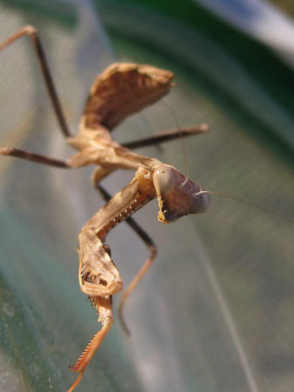 mantis nymph
