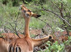 Impalas Grazing (cowyeow) Tags: africa mist grass misty southafrica mammal feeding african wildlife safari impala grassland mammals krugernationalpark kruger impalas