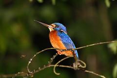 Wildlife Borneo (kiwikoalabaer77) Tags: bird river malaysia borneo kingfisher sabah kinabatangang