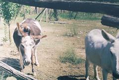 Whitey and Browney (Ƨim) Tags: italy brown white cute film donkeys heat flies shake spoleto fujica arid st605n