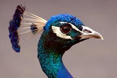Not Another Peacock Portrait! - Getty (JebbiePix) Tags: blue bird face closeup zoo newjersey profile beak feathers peacock getty iridescent  turtlebackzoo doublyniceshot doubleniceshot