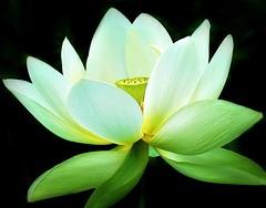 White Lotus (s