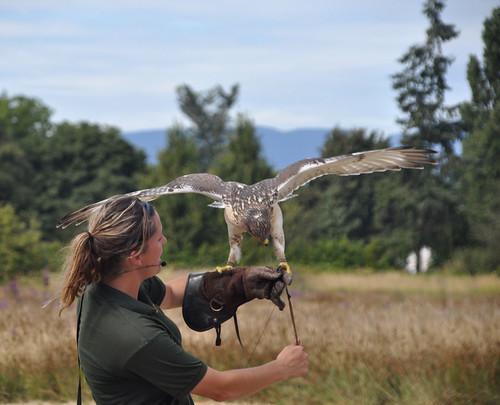 Saker Falcon with handler