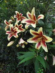 Lilium Shocking composition
