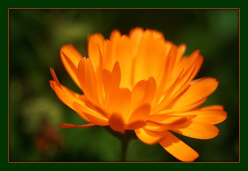calendula by berber hoving
