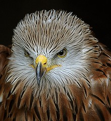 """Let's go fly a kite"" (Tony Shertila) Tags: england birds suffolk eyes europe britain feathers raptor prey beaks redkite milvusmilvus suffolkowlsanctuary stonhambarns 100commentgroup mygearandme mygearandmepremium mygearandmebronze flickrstruereflection1"