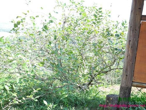 香格里拉農場26E-桑椹