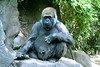 . . . and I sit anywhere I want.  Why do you ask? (Alan_Rice) Tags: gold zoo gorilla bronx quality ape qualitygold